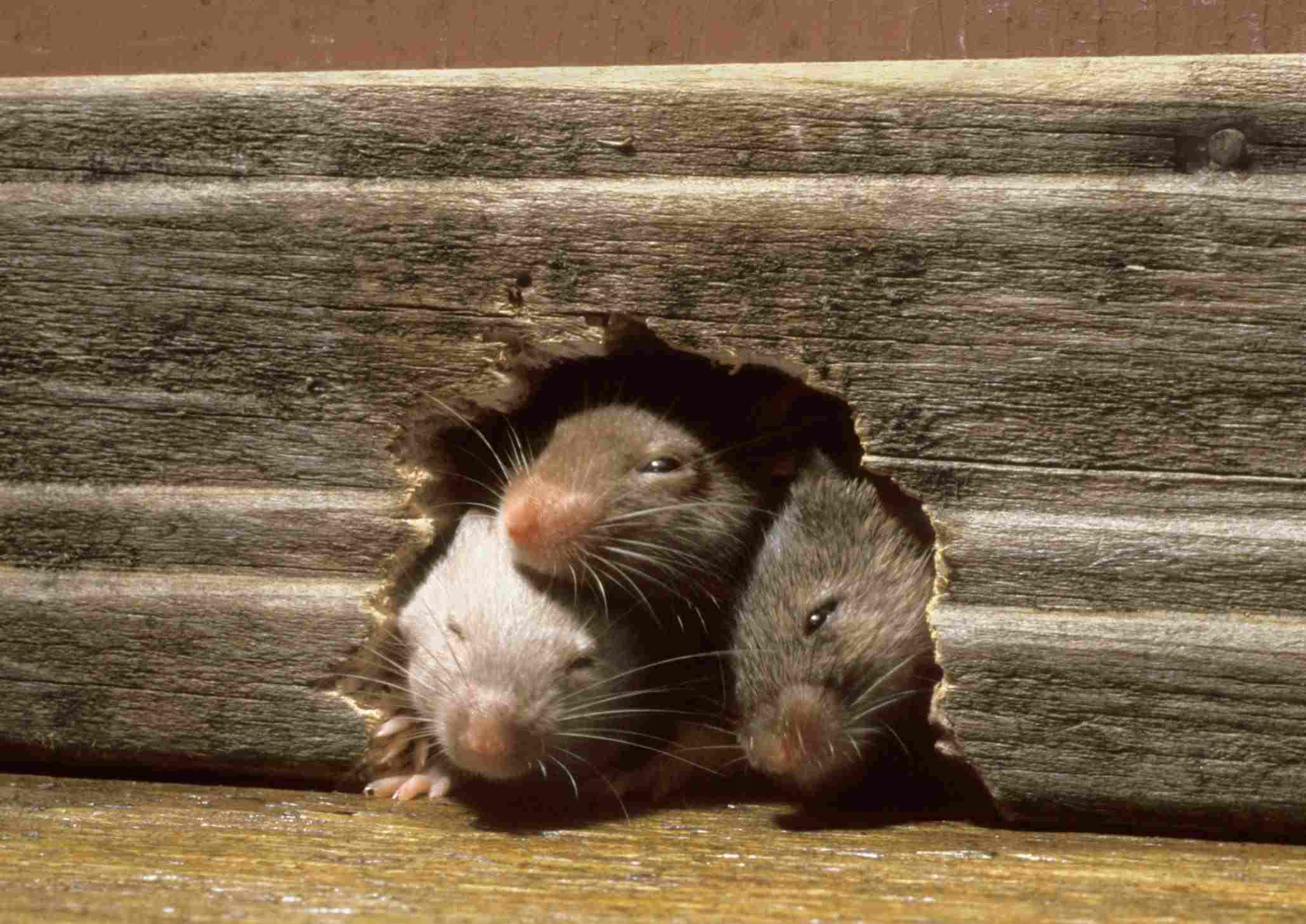 do mice travel in pairs