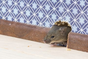 how are mice getting into your house
