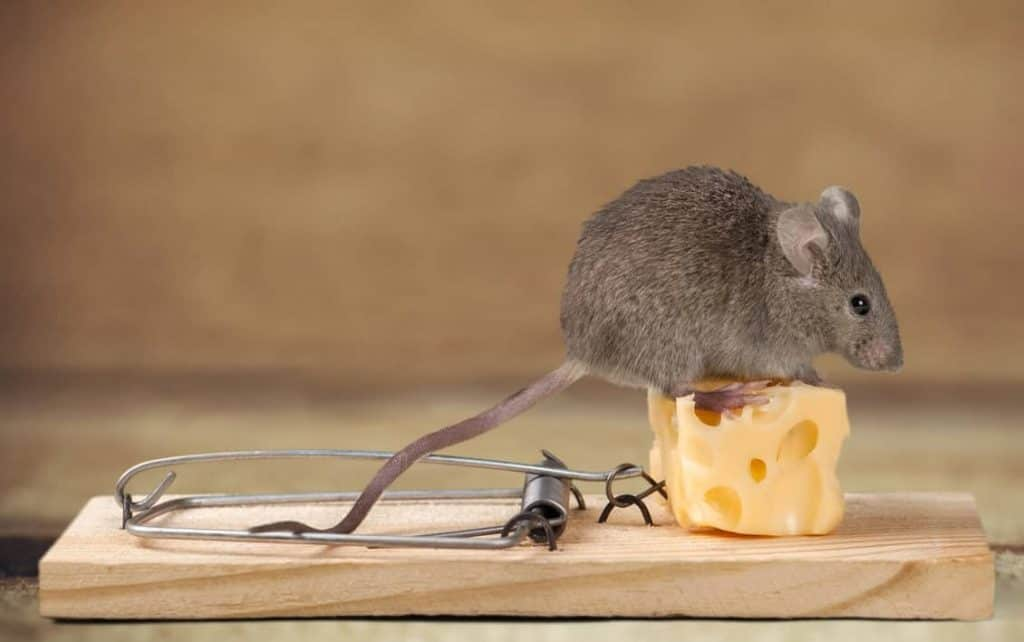 best bait for mouse trap