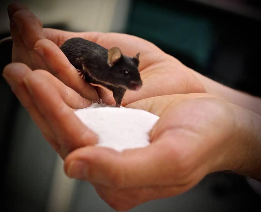 do mice like sugar