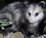 Do Opossums Eat Mice? Friend or Foe?